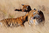 Bengal Tigers playing — Stock Photo
