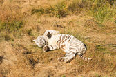 Shot of an extremely rare white tiger — Stock Photo