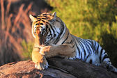 Tiger in the wild — Stock Photo