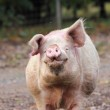 A male pig — Stock Photo
