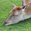 Red deer doe sleeping — Stock Photo