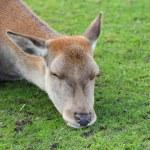 Red deer doe sleeping — Stock Photo
