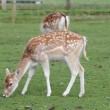 Juvenile Fallow deer — Photo