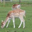 Stock Photo: Juvenile Fallow deer