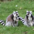 Ring tailed lemur — 图库照片