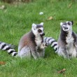 Ring tailed lemur — Stockfoto
