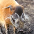 Red River Hog — Foto Stock