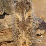 Meerkat on sentry duty — Stock Photo