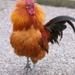 Stock Photo: Cockerel