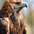 Golden Eagle — Foto de Stock