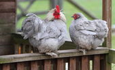 Rooster and hen — Stock Photo