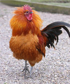 Cockerel — Stock Photo