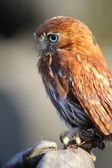 Pygmy owl — Stock Photo