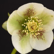 Stock Photo: Hellebore flower