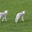 Stock Photo: Pair of Lambs