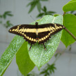 King Swallowtail — Stock Photo