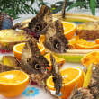 Owl moths feeding — Stock Photo