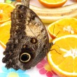 Owl moth feeding — Stock Photo