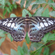 Stock Photo: Blue clipper butterfly