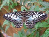 Blue clipper butterfly — Stock Photo