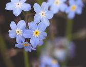 Forget me nots Myosotis — Stock Photo