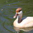 Red Crested Pochard — 图库照片