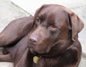 Chocolate labrador — Stockfoto