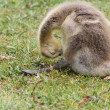 Canadgoose gosling — Stock Photo #26762603