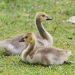 Canada goose goslings — Stock Photo #26762613