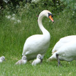 Swan family — Stock Photo #26762615