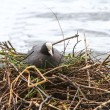 Coot on a nest — 图库照片