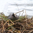 Coot on a nest — Stockfoto