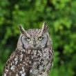 Spotted owl — Foto de Stock