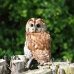 Tawny owl — Stock Photo #26933003