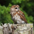 Tawny owl — Stock Photo #26933007