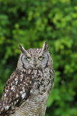 Spotted owl — Stock Photo