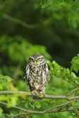 Little owl — Stockfoto