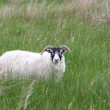 Sheep in a meadow — Stock fotografie