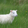 Lamb in a meadow — Stock Photo