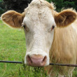 A cow — Stock Photo