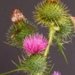 Thistle — Stock Photo #29122409