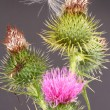 Thistle and seed — Stock Photo