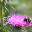 Bee on a Thistle flower — Stok fotoğraf
