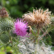 Bee on a thistle flower — 图库照片
