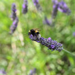 Stock Photo: Bee on lavender flower