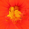 Nasturtium macro — Stock Photo #29460569