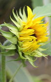 Sunflower opening — Stock Photo