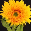 Sunflower — Stock Photo #30442877