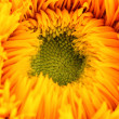 Sunflower — Stock Photo #30442971