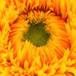 Sunflower — Stock Photo
